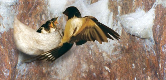 Chim yến thường ăn gì? Cách làm thức ăn nuôi chim yến