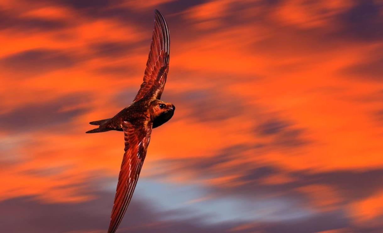Những bí ẩn mới được khám phá về loài chim én | VietvaFin