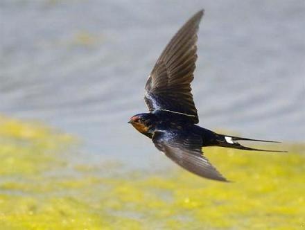 Cớ sao đổi tên chim Én thành chim Nhạn?