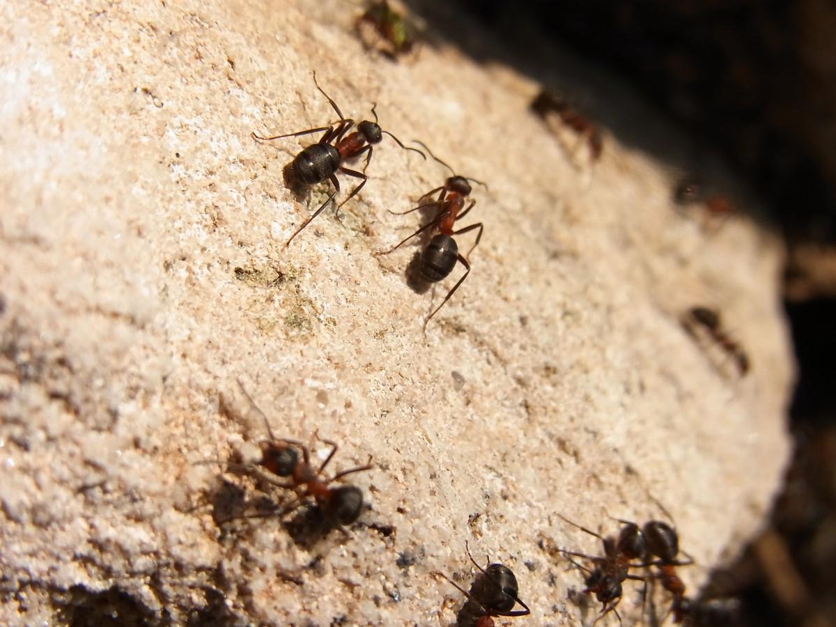 hình ảnh : thiên nhiên, rừng, thú vật, bay, Côn trùng, Đất, Động vật, Động  vật không xương sống, Đóng lên, con ong, kiến, ong vò vẻ, côn trùng,  Hymenoptera, Chụp macro,
